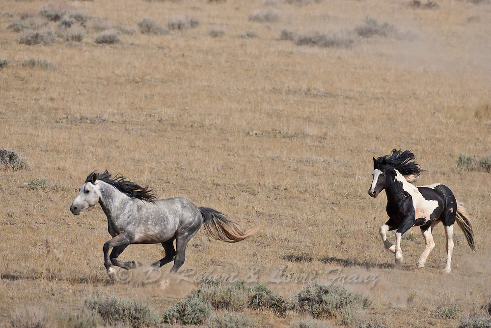 Wild mustang stallions chasing each other