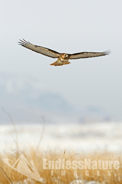 A Red Tailed Hawk glides over a wintertime grassy field in search of mice and small birds.