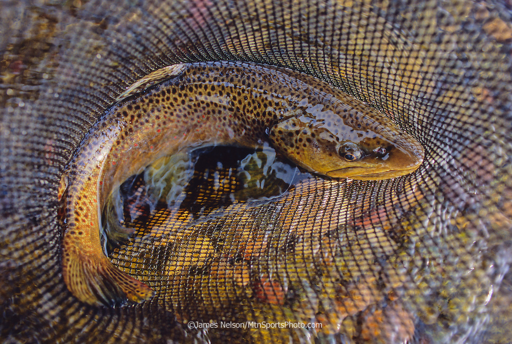 0868-D. A brown trout in a fishing net during an autumn day on the South Fork of the Snake River, Idaho.