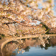 Branches of the cherry blossoms in a few days after the peak bloom around the Tidal Basin in Washington DC.