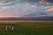 Icelandic sheep in the morning mist, Volcano Hekla in background