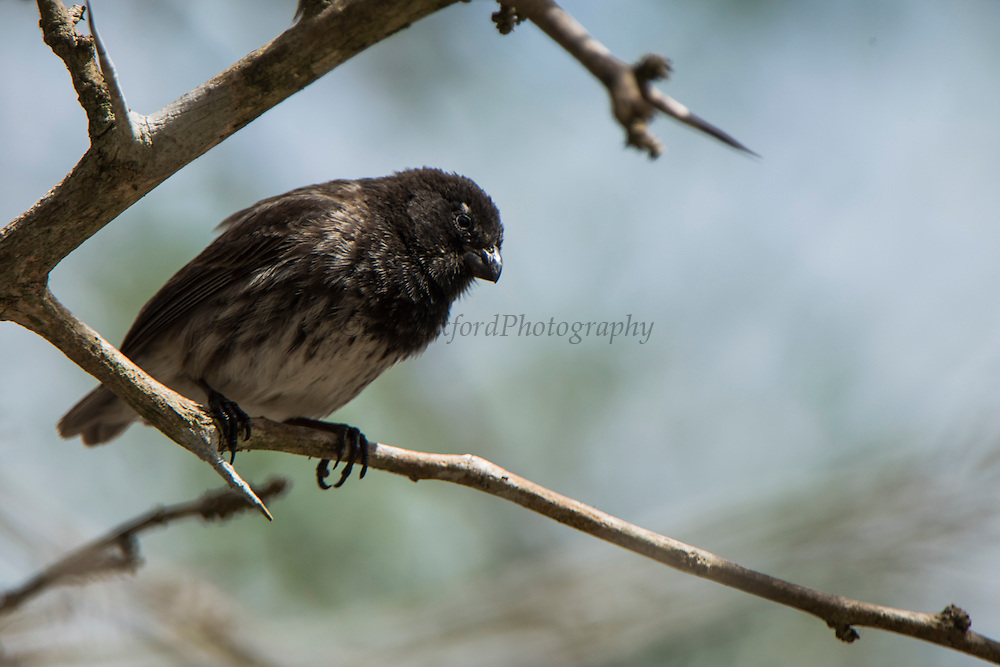 Medium tree finch (Camarhynchus pauper)<br /> Black Beach<br /> Floreana Island<br /> Galapagos<br /> Ecuador, South America<br /> ENDEMIC<br /> Critically Endangered