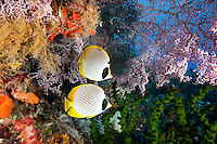 Panda Butterflyfish Pair.Shot in West Papua Province, Indonesia