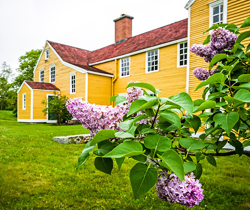 Lilacs in Bloom at the Wentworth Coolidge Mansion, Portsmouth, New Hampshire.  <br />