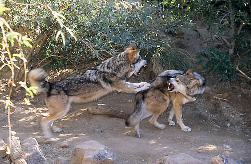 Mexican Wolf Lobo, (Canis lupus baileyi) Endangered species.  Captive Animal.