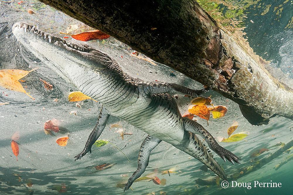 Morelet's crocodile, Central American crocodile, or Belize crocodile, Crocodylus moreletii,  resting on surface in cenote, or freshwater spring, near Tulum, Yucatan Peninsula, Mexico