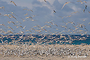 crested terns or swift terns, Sterna bergii or Thalasseus bergii, Turu Cay, Torres Strait, Queensland, Australia