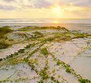 0505-1014CR ~ Copyright: George H.H. Huey ~ Railroad vine [lpomoea pes-caprae var. emarginata], and Gulf of Mexico beach at sunrise.  Padre Island National Seashore, Texas.