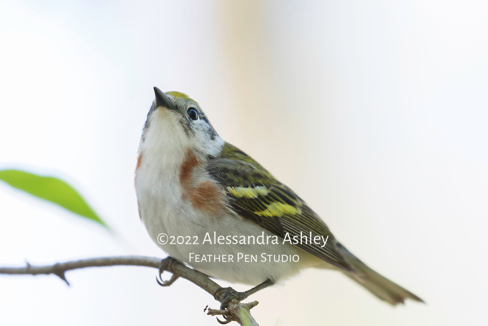 Chestnut-sided warbler (Setophaga pensylvanica) perched in early spring at Magee Marsh Wildlife Area, NW Ohio.