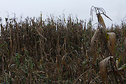 Wilted cornfield in Tultepec, México.