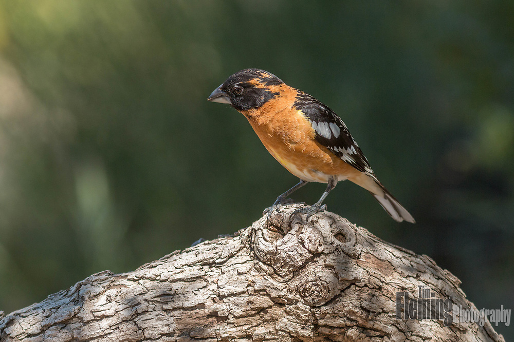 Black-headed grosbeak perched on branch in central California
