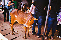 A young calf stands amidst families at a small cafe in Panjim, India.