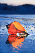 A Whelk shell photographed in twilight at Corva, NC. I placed a flashlight behind the shell to make it glow.