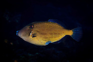 Thamnaconus analis (Morse-code leatherjacket)