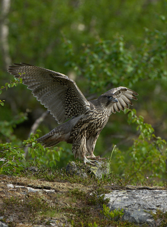 Gyr Falcon; Falco rusticolus; fledgling learning to fly;  Jämtland; Jamtland;  Sweden