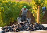 Harvesting pinot noir, Margorie's  block at Cristom estate vineyard, Eola-Amity Hills, Willamette Valley, Oregon