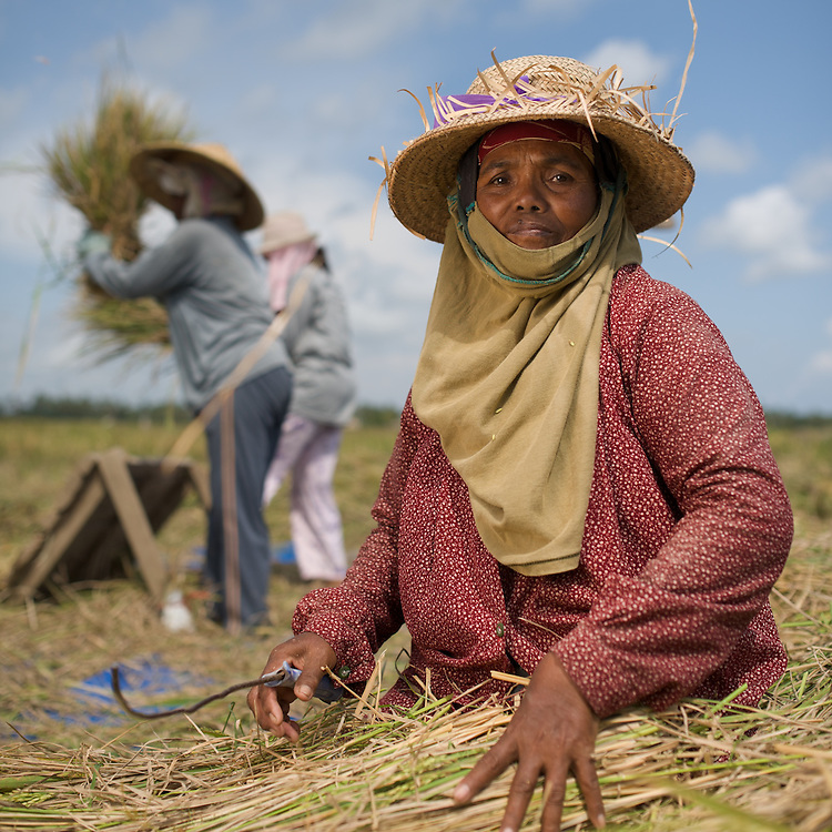 Threshing rice in a field in Bali. This woman is doing second harvest, trying to get the last of the rice from the bundles that have already been threshed by the women in the background. This is essentially charity gleaning, and she can take home (for free) up to 7kg of the rice. About one big bowl, which might feed her for a couple of days.
