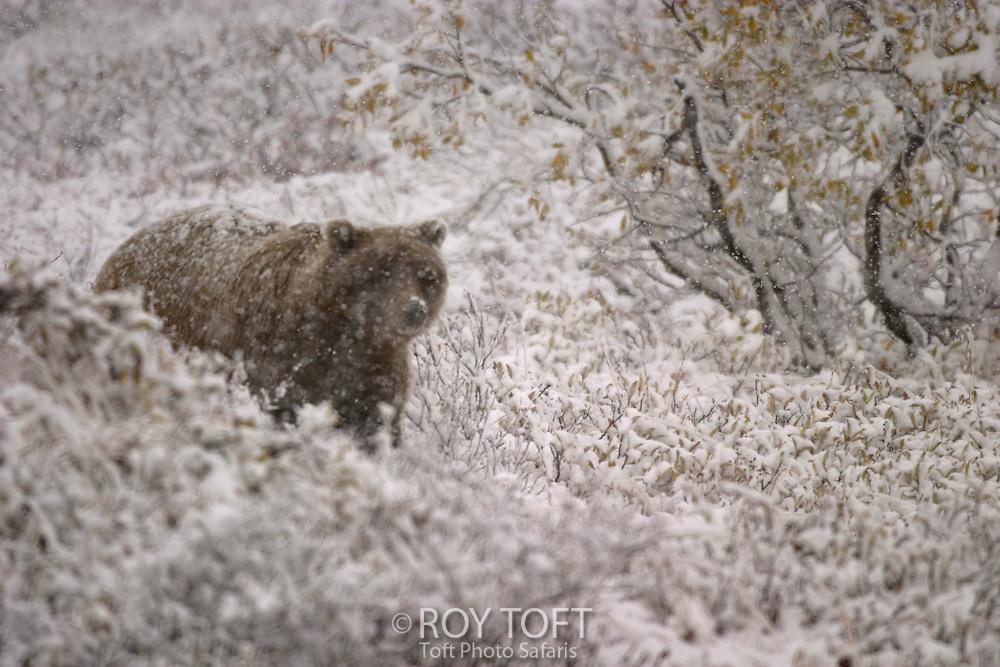 An Alaskan brown bear walking in a snowy landscape.