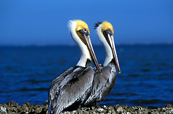 Pair of Brown Pelicans (Pelicanus Occidentalis) standing near Ocean