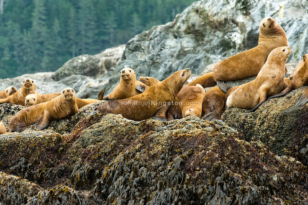 Steller sea lions (Eumetopias jubatus) rest at a rocky haul out in south east Alaska.