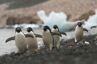 Adelie Penguin (Pygoscelis adeliae) on the beach with icebergs at Devil Island, Antarctica.