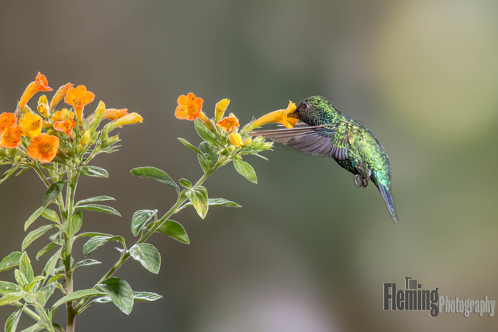 A western emerald hummbird feeds on nectar rich flowers in the Tandayapa valley of Ecuador.