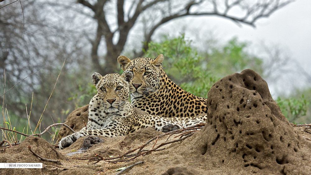 Male leopard (Panthera pardus) having a brief encounter with his very old mother, South Africa