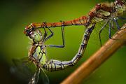 Common Darter (Sympetrum striolatum) | Große Heidelibelle (Sympetrum striolatum) im Paarungsrad. Hierbei ist das Wib