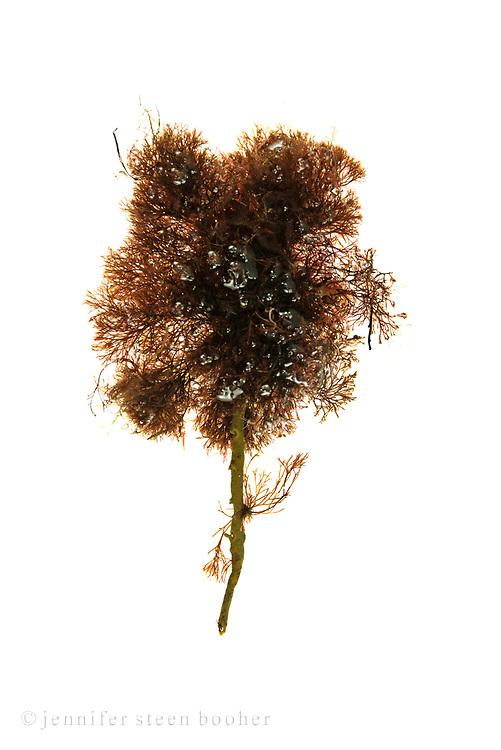 Ascophyllum nodosum with Vertebrata lanosa (syn. Polysiphonia lanosa.)