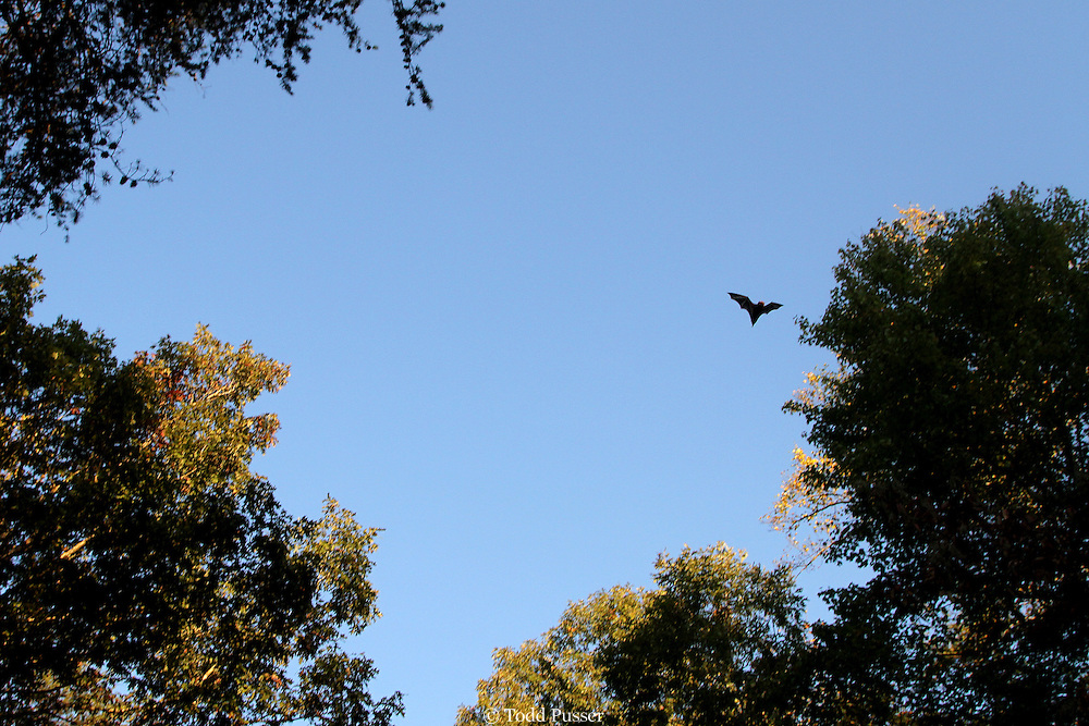Red bat (Lasiurus borealis) foraging over piedmont forest.  Morrow Mountain State Park, North Carolina