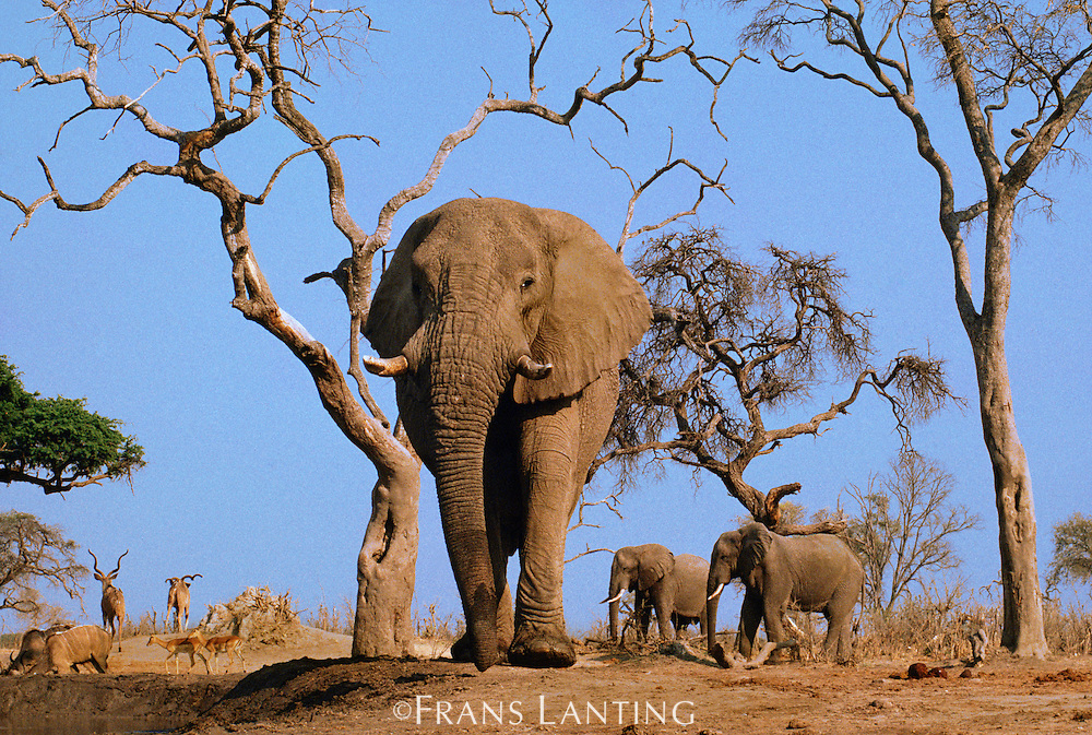 African elephants near waterhole, Loxodonta africana, Chobe National Park, Botswana