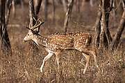 Spotted deer, Axis axis, (Chital) in Ranthambhore National Park, Rajasthan, Northern India