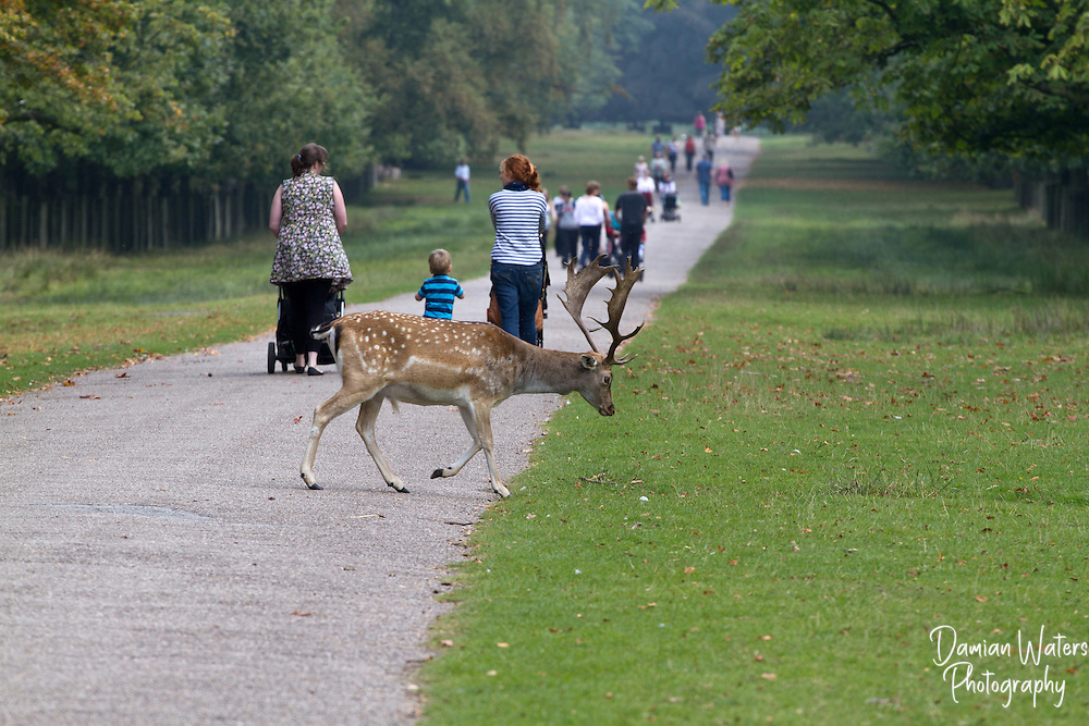 Fallow Deer buck crossing path behind people, Cheshire, England - September