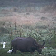A water buffalo grazing in a flooded field with cattle egrets.