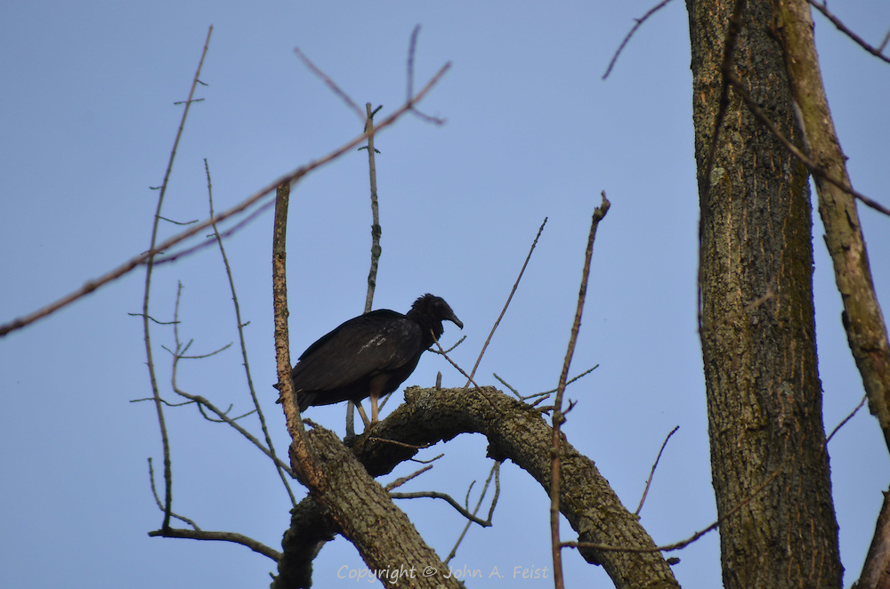 A turkey buzzard sitting on a branch in early spring in Hillsborough, NJ