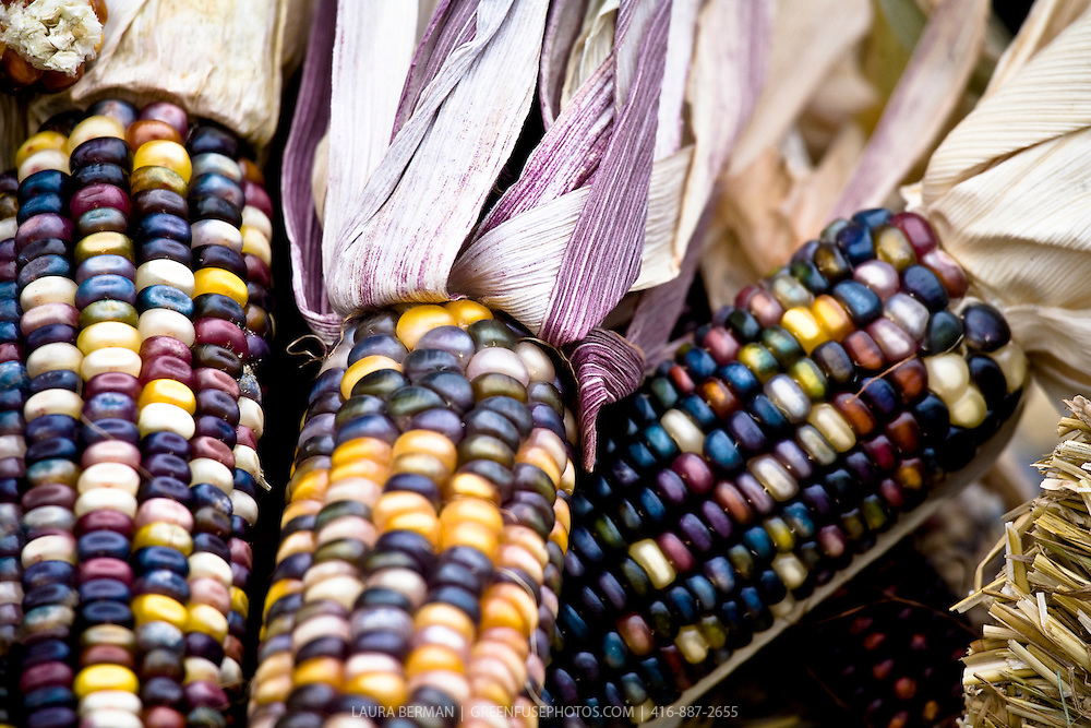 Ears of multicoloured corn.