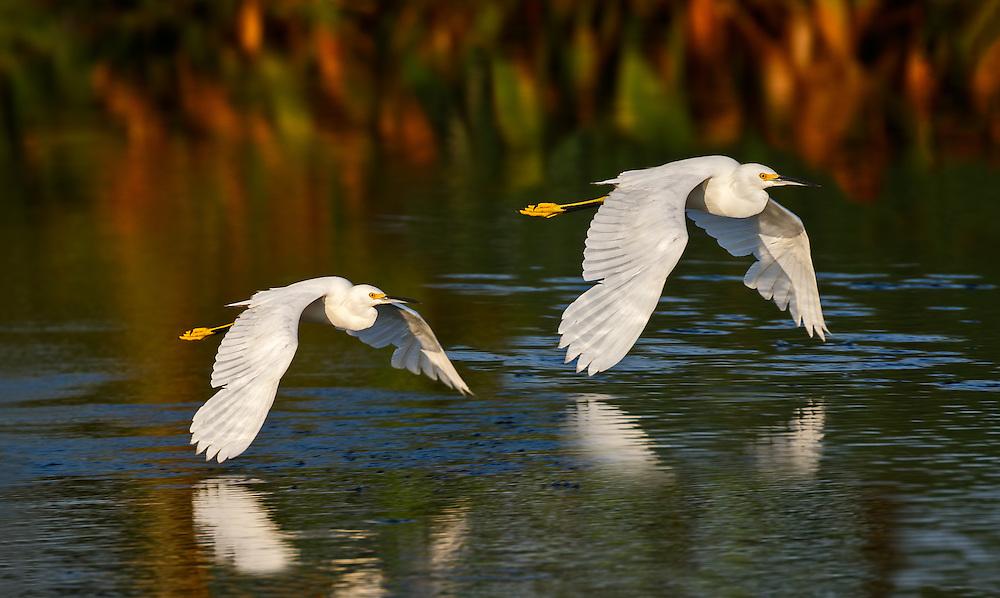 Snowy Egret flight sequence