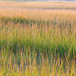 Grass in a tidal marsh along the Great Island Trail and Wellfleet Bay in Cape Cod National Seashore, Wellfleet, Massachusetts.