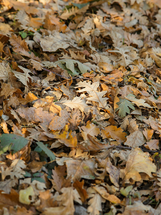 Autumn leaves lying on the ground on Wimbledon Common, London