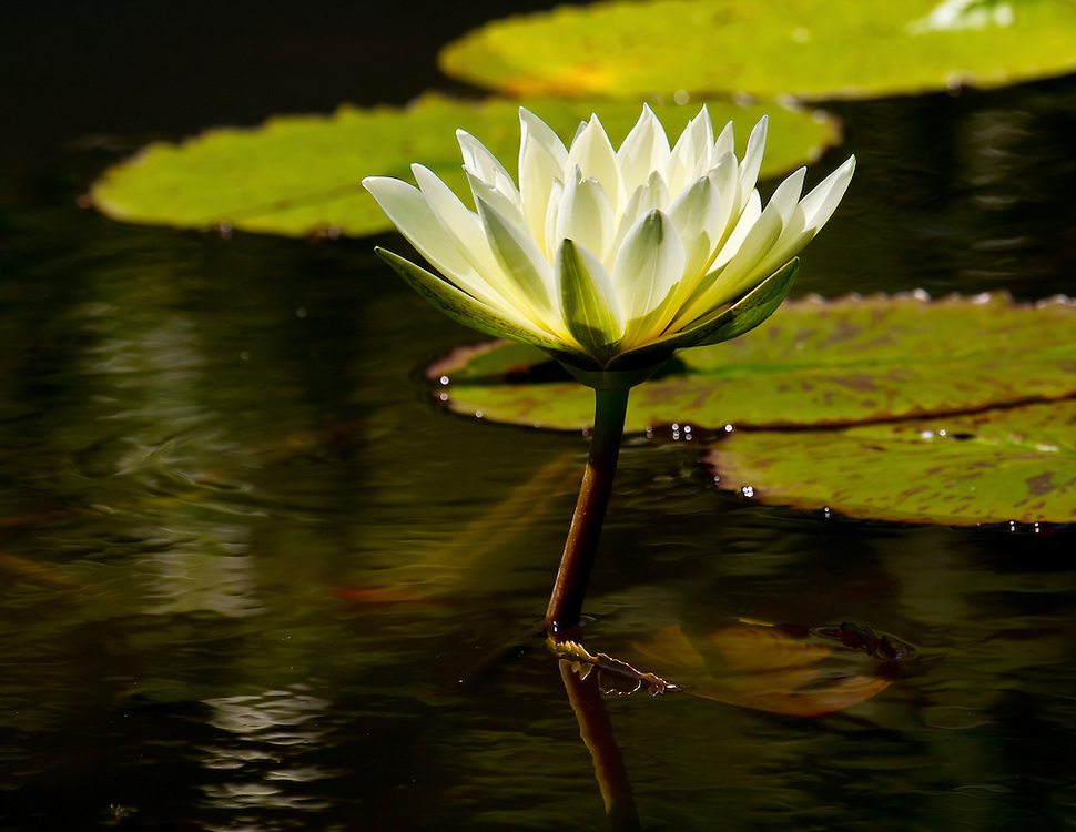 A solitary yellow water lily at the lily pond.