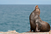 Male Galapagos Sea Lion, Zalophus calefornianus, from the island of South Plaza.