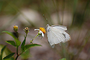 This photograph is of a Great Southern White Butterfly gently landing on a flower.  It was taken at J.N. Ding Darling National Wildlife Refuge in Sanibel, Florida.