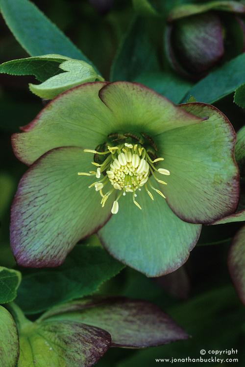 Helleborus x hybridus 'Ashwood Garden Hybrids'