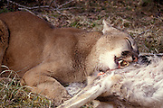 Male Cougar (Felis concolor) using its carnassials, special teeth that scissor meat, on a deer. Range: North America, Canada south to all South America. Captive, Montana.