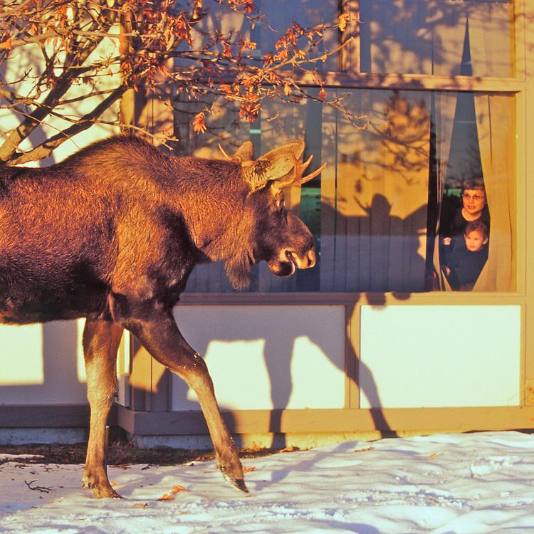 Urban moose, Anchorage, Alaska