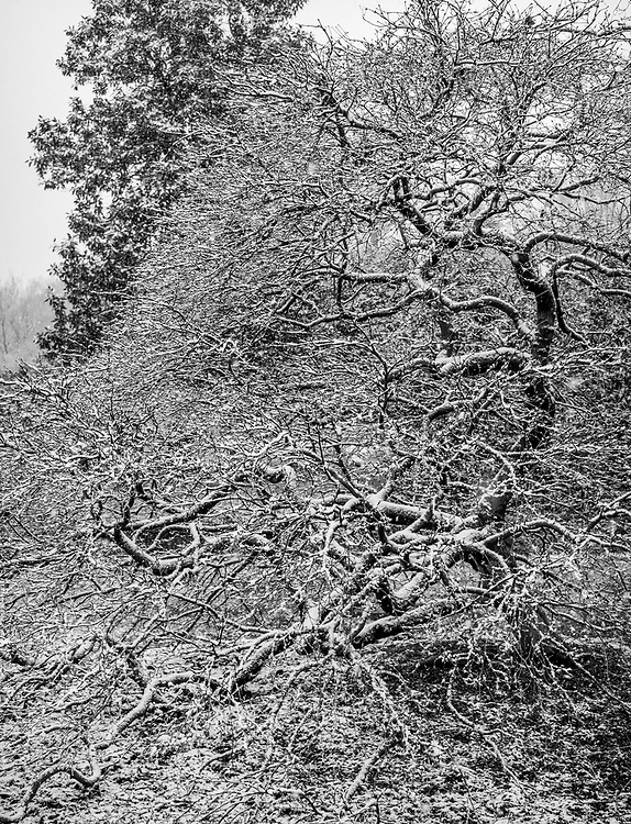 A light snow accentuates the gracefully sculptured limit of this stately old Japanese maple at Greensboro Arboretum.