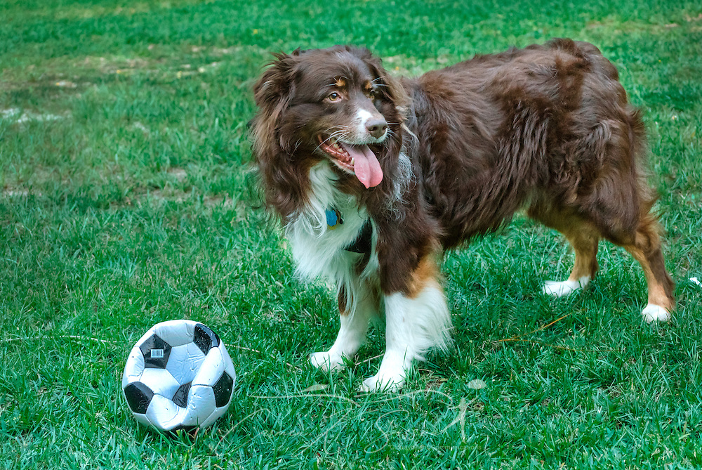 Cowboy, a six-year-old red-tri Australian Shepherd, takes a break from playing with a soccer ball, July 21, 2014, in Coden, Alabama. (Photo by Carmen K. Sisson/Cloudybright)