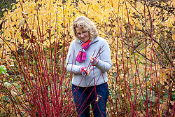 Gathering material for  hardwood cuttings from Cornus sanguinea - dogwood - in winter