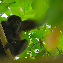 A Howler Monkey perched in a tree in Costa Rica.