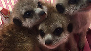 Indian man arrested for allegedly trying to smuggle tortoises, Meerkat babies<br /> <br /> Police arrested an Indian tourist at the Suvarnabhumi Airport on Thursday after six tortoises and three Meerkat babies were found hidden inside his suitcase.<br /> <br /> Kamal Batsha Thameem Ansari, 33, was arrested when he was about to board Thai Airways International Flight TG337 to Chennai.<br /> <br /> Officials scanned his suitcase using an X-ray machine and found the animals.<br /> <br /> Officials then opened the suitcase and found six leopard tortoises and three Meerkat babies. The Indian and his suitcase were sent to the Suvarnabhumi police station for questioning.<br /> <br /> He was charged with attempting to smuggle protected animals out of the country.<br /> ©Suvarnabhumi Airport/Exclusivepix Media